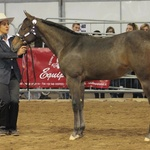 Futurity Champion weanling filly-photo by Francesco Auriemma-