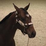2007 European Champion Weanling colt